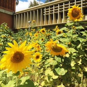 Highlight of my week: discovering this beautiful patch of sunflowers on campus.